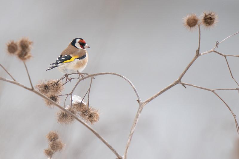 szczygieł | european goldfinch | carduelis carduelis