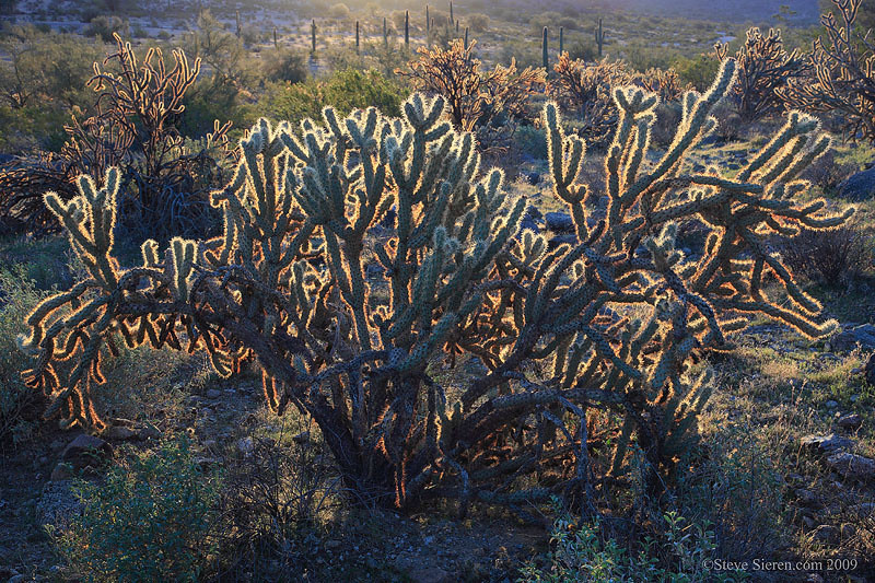 Back lit Cholla cactus in the Maricopa Mountain Wilderness section of the Sonoran Desert National Monument