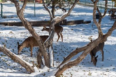 2020 11 13: Deer Browsing in Backyard