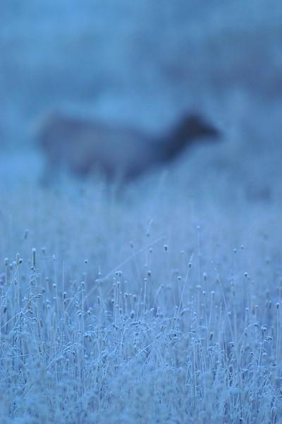 Elk Out of Focus Elk 773_7315.jpg