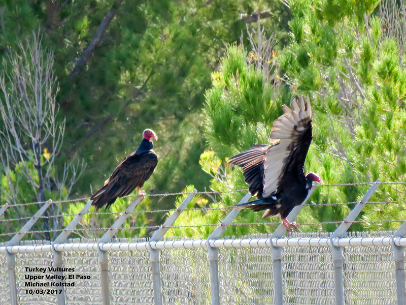 IMG_7427 3T 2 Turkey Vultures on barb wire Morrill Rd.jpg