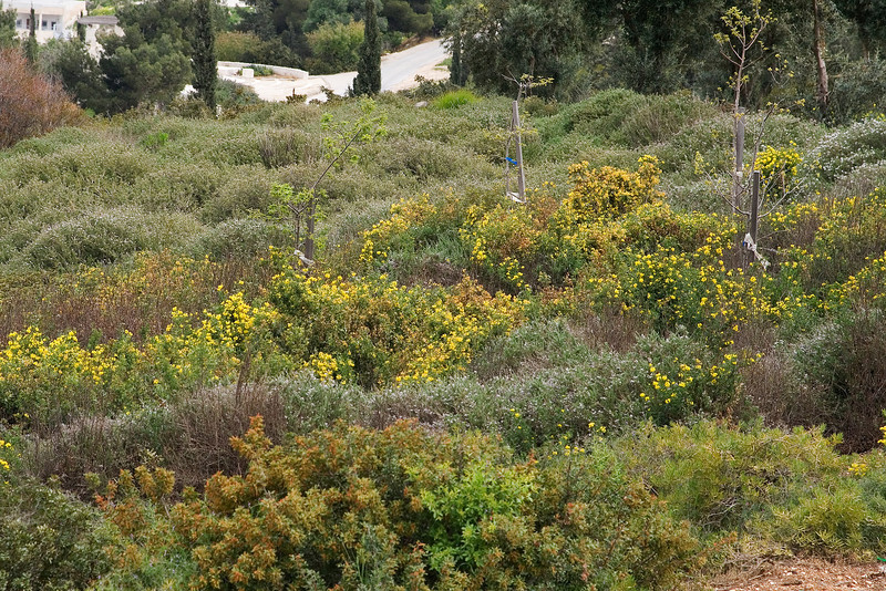 Jerusalem Hillside Flowers.jpg