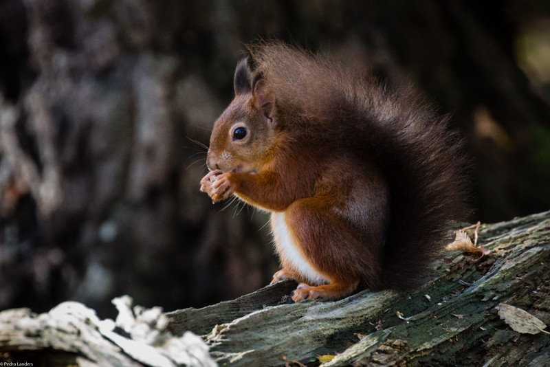 Classic Red Squirrel