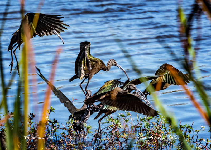_DSC4876White-faced Ibis.jpg