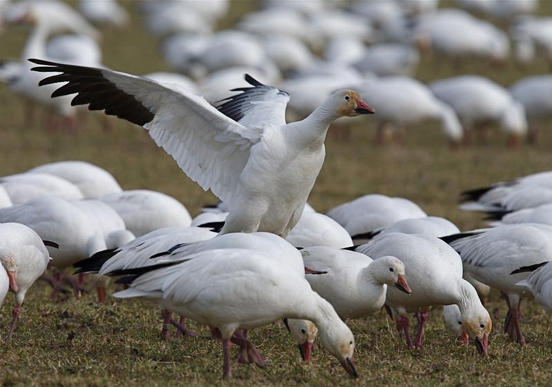 Snow Geese on the Skagit Flats, northwestern WA