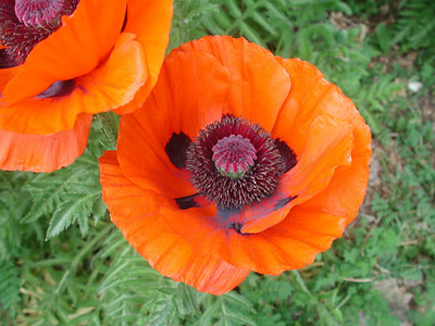 Poppie 2010 by Richard Lazzara