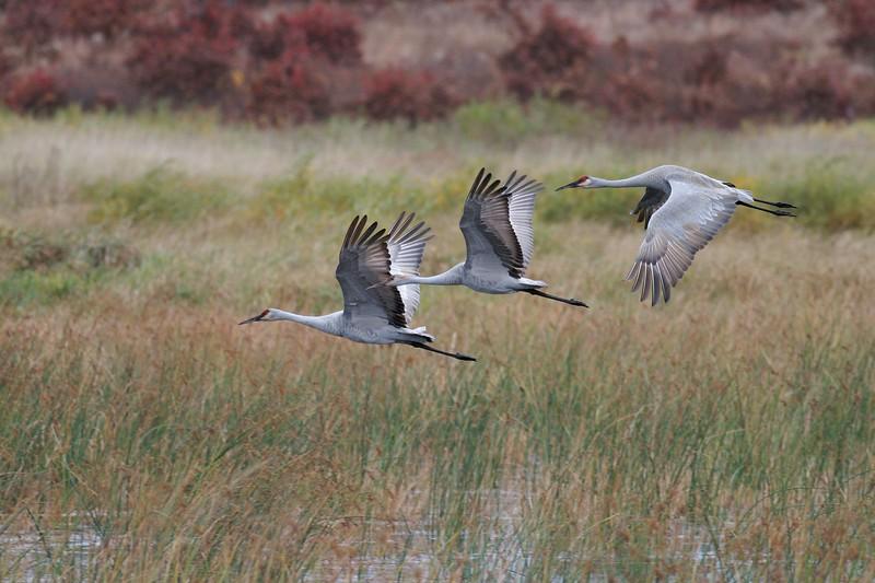 Sandhill Crane family flying Crex Meadows WI IMG_0001402.jpg