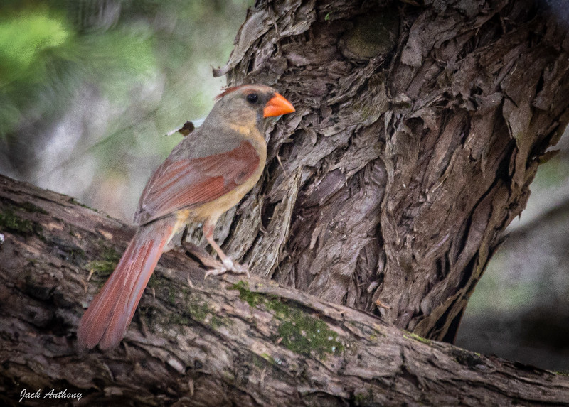 Nothern Cardinal - Female