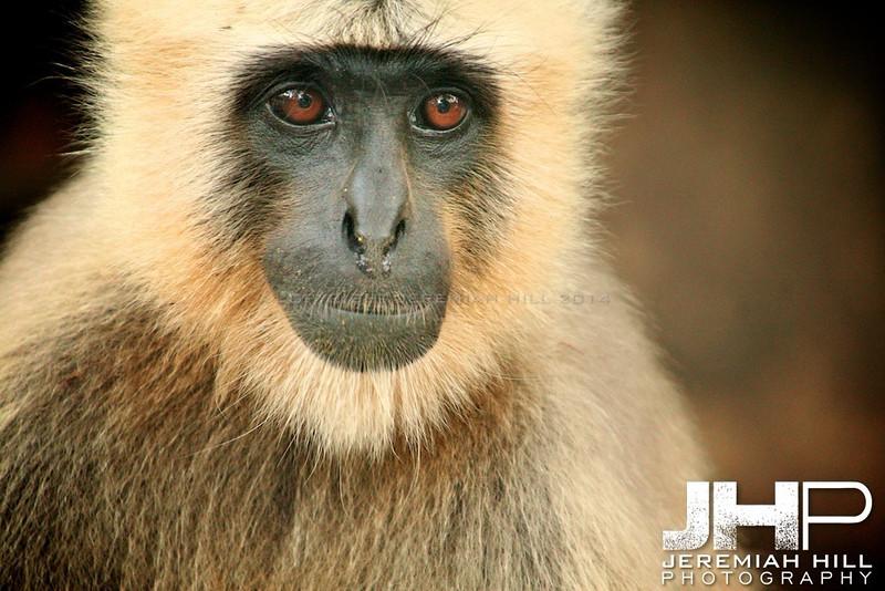 """""""Rishikesh Langur Monkey #3"""", Rishikesh, Uttuaranchal, India, 2007 Print IND373-387"""