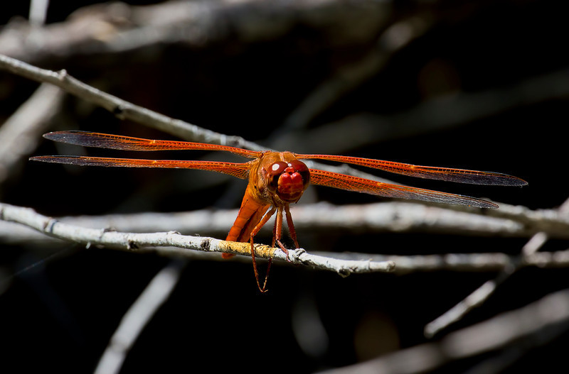 Flame Skimmer, Libellula saturata, male, Spur Cross Recreation Area, Maricopa County