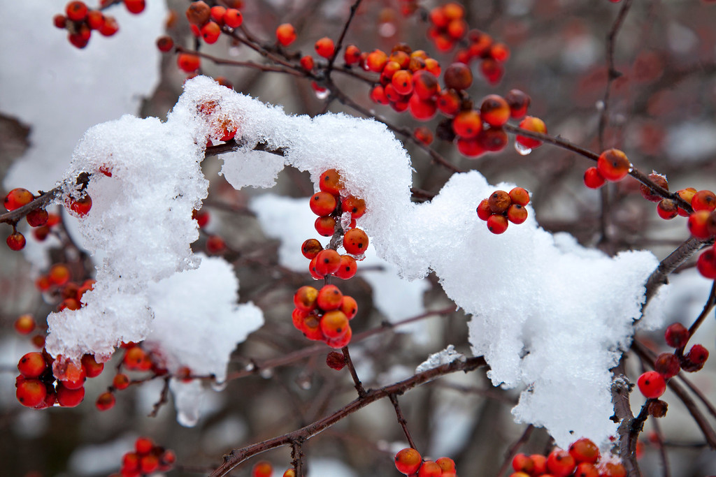 . A late season snow clings to blossoms and berries in Arlington, Va., outside Washington, Monday, March 25, 2013. (AP Photo/J. Scott Applewhite)
