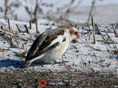 Sparrows, Buntings and Allies