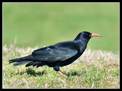Birds - British