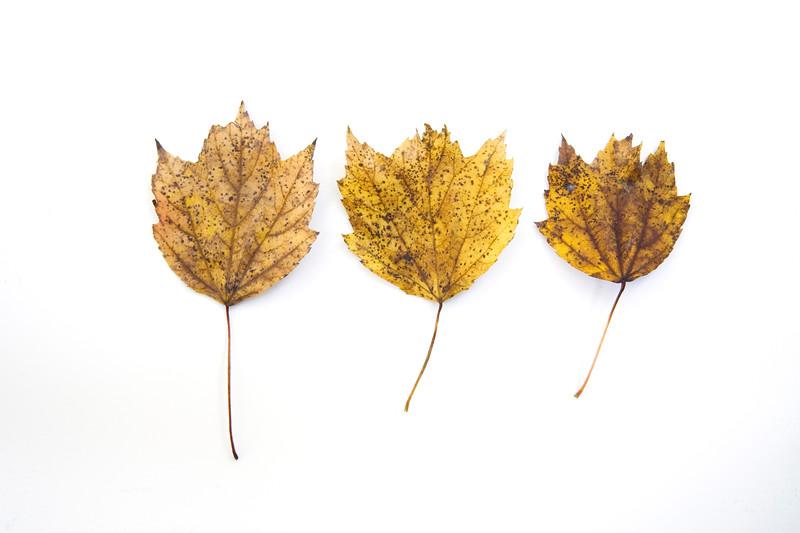 2008-11-02 leaf study 1 3675.jpg