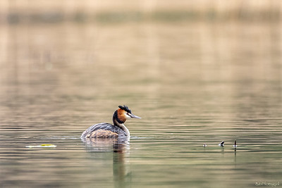 Toppdykker (Great Crested Grebe)