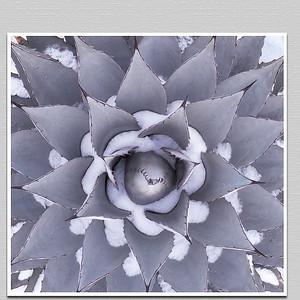Snow Cacti/agave