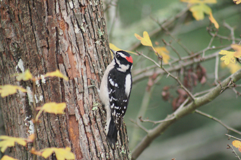 Downy Woodpecker (2).JPG
