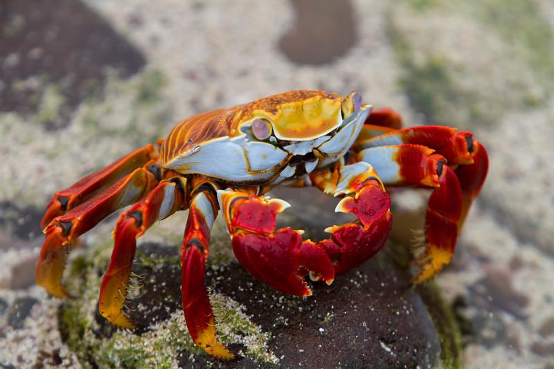 Sally Lightfoot Crab @ Cerro Brujo, San Cristobal.jpg