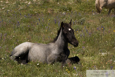 Pryor Mountain Wild Horses - WY/MT, Bighorn Canyon National Recreation Area, WY, Bighorn Battlefield National Monument, MT, and Lovell, WY - July, 2009