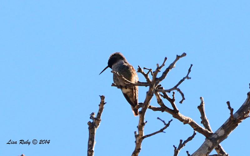Anna's Hummingbird - 12/29/2014 - Santee Lakes