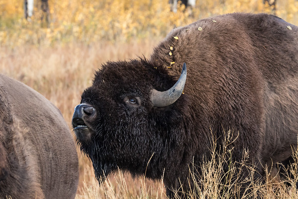 Bison - Please click on a photo to enlarge the image.