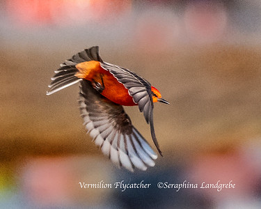 Wrens ,Tyrant Flycatchers & Waxwings