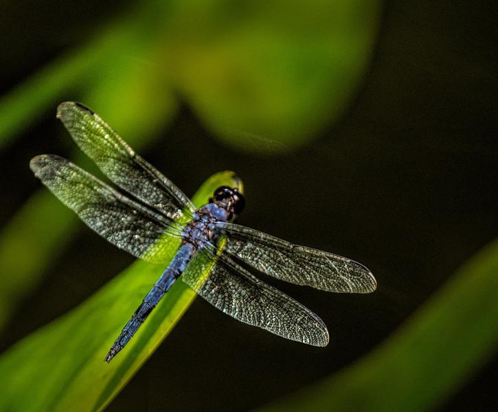 Gibbs dragonflylowres.jpg