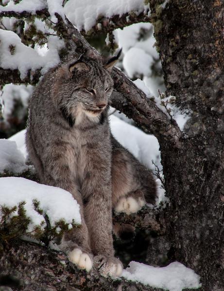 4075-Lynx-©Yvonne Carter.jpg