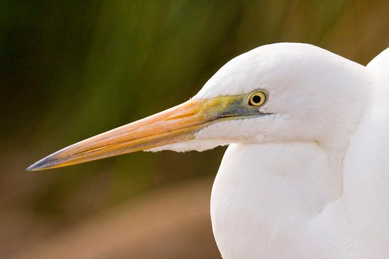 Egret, Australia