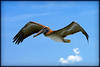 Close up photograph of a pelican flying. Photography fine art photo prints print photos photograph photographs image images artwork.