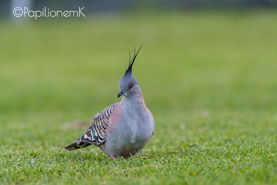 Crested Pigeon [Ocyphaps lophotes]
