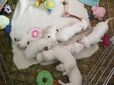 Bull Terrier Puppy Party
