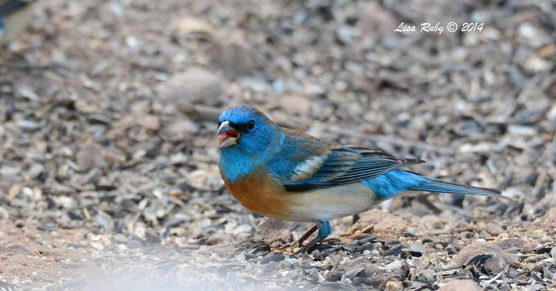 Lazuli Bunting - 4/20/2014- Ash Canyon B&B, Sierra Vista, Az