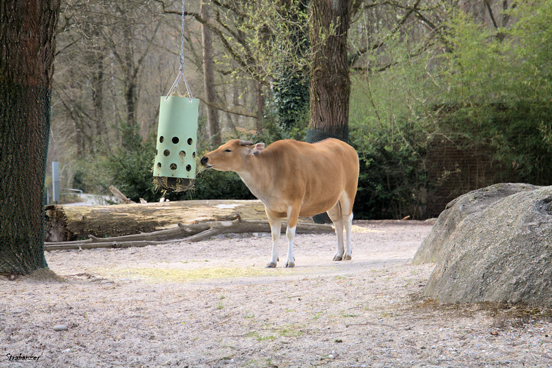 Munich Tierpark, Banteng Bull,  04/04/20199 This work is licensed under a Creative Commons Attribution- NonCommercial 4.0 International License