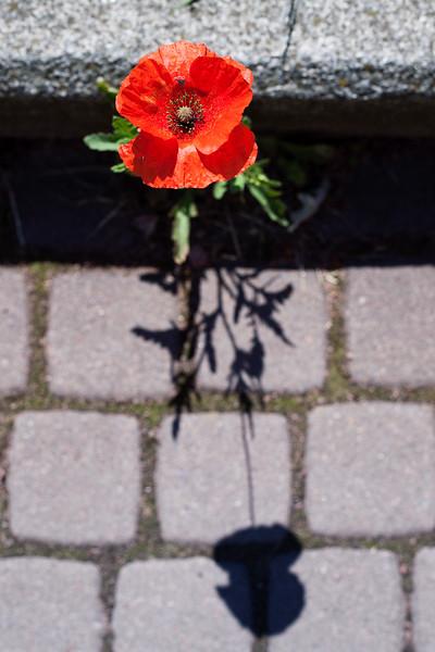 2016-06-20_Poppies_005.jpg