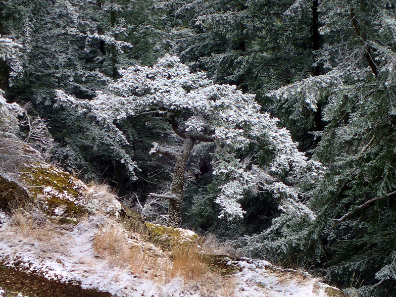 PB030043 snow on tree.jpg