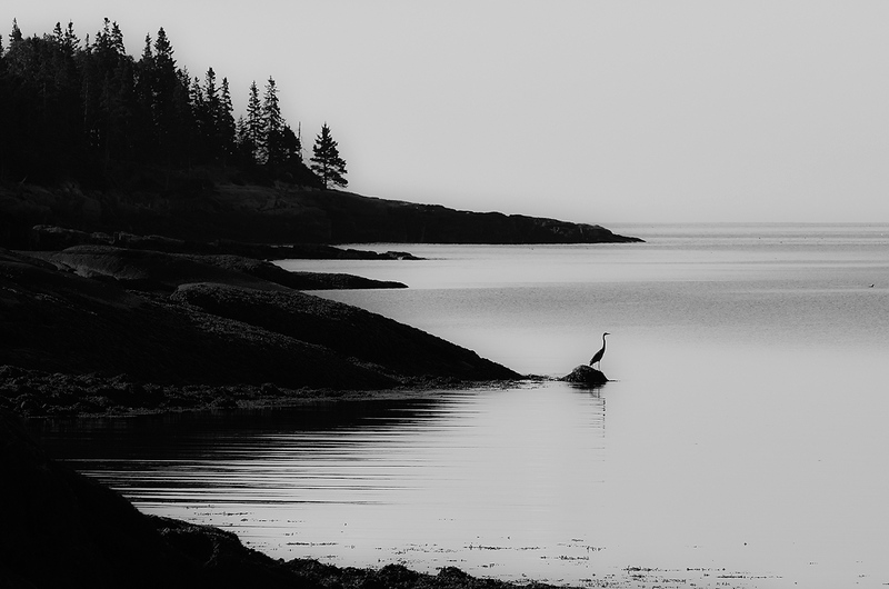 Blue Heron - Acadia National Park 2.jpg