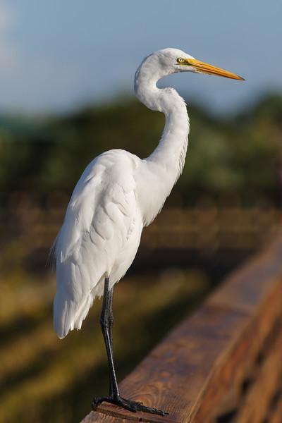 Great White Egret.jpg