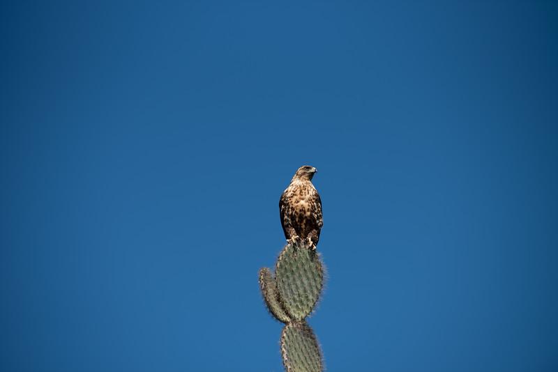 sea hawk on cactus