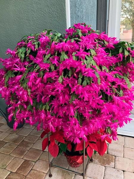 1_17_21 Blooming large Christmas Cactus.jpg