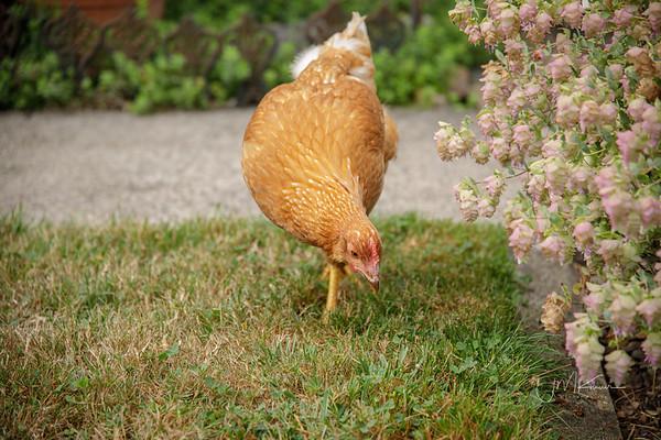 Chickens in the Neighborhood