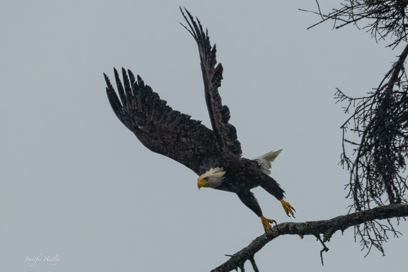 Eagle Taking Off 4.jpg