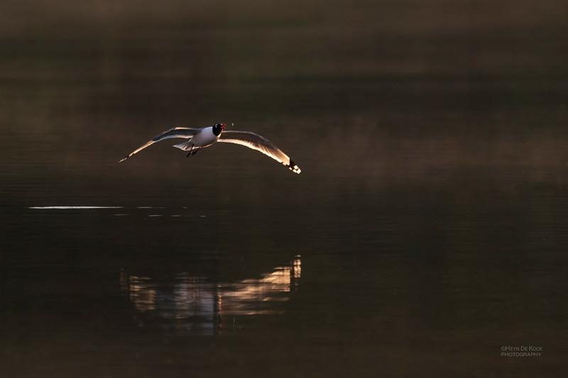Franklin's Gull, Standing Bear Lake, NE, USA, May 2018-7.jpg