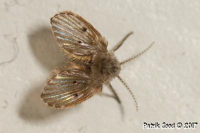 Wingbump Moth Fly