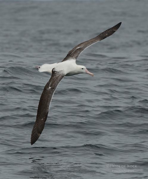 Southern Royal Albatross, Stewart Island Pelagic, SI, NZ, Jan 2013-2.jpg