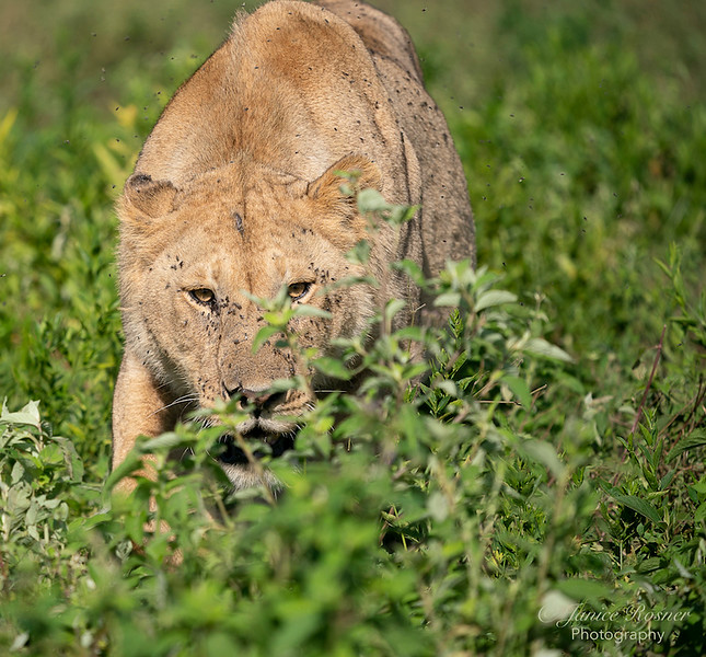 Young Male Lion stalking