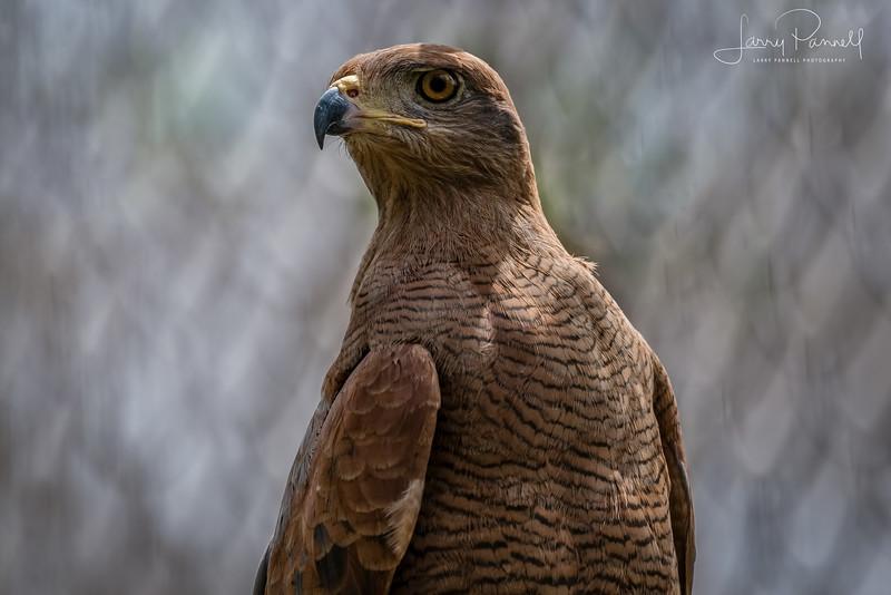 Savannah Hawk - Cartagena