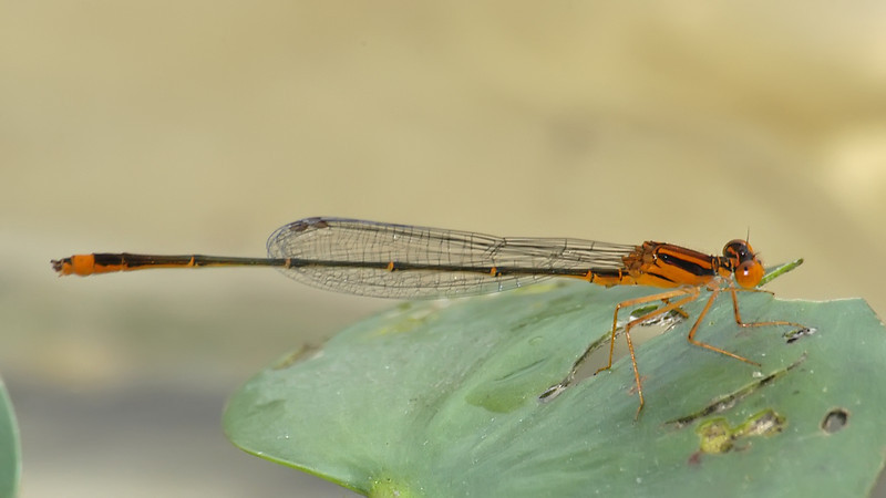Enallagma pollutum (Florida Bluet), FL