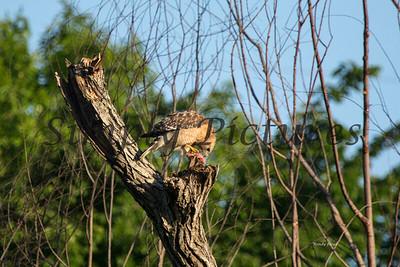 Hawk  021