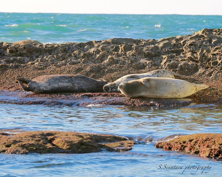 La Jolla Harbor seals 3 on rocks00001.jpg